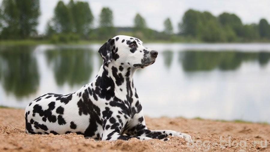 мужская порода собак далматин