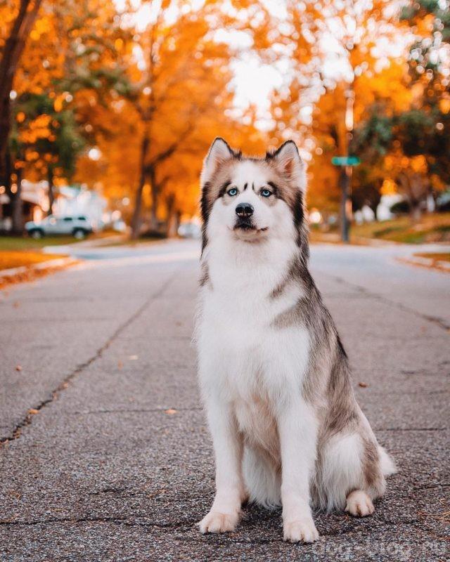 мужская порода собаки хаски