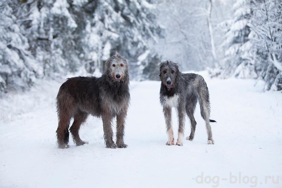 мужская порода собак ирландский волкодав