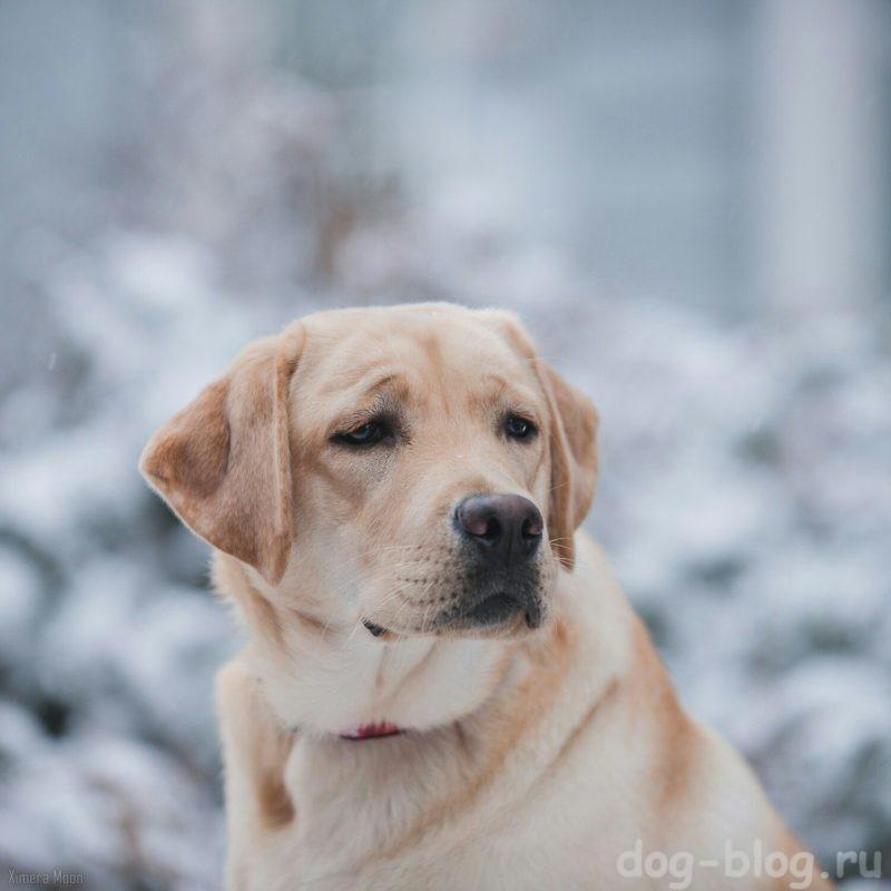 мужские породы собак лабрадор