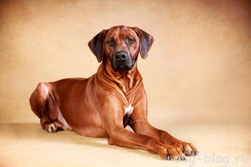 мужская порода собак Родезийский риджбек