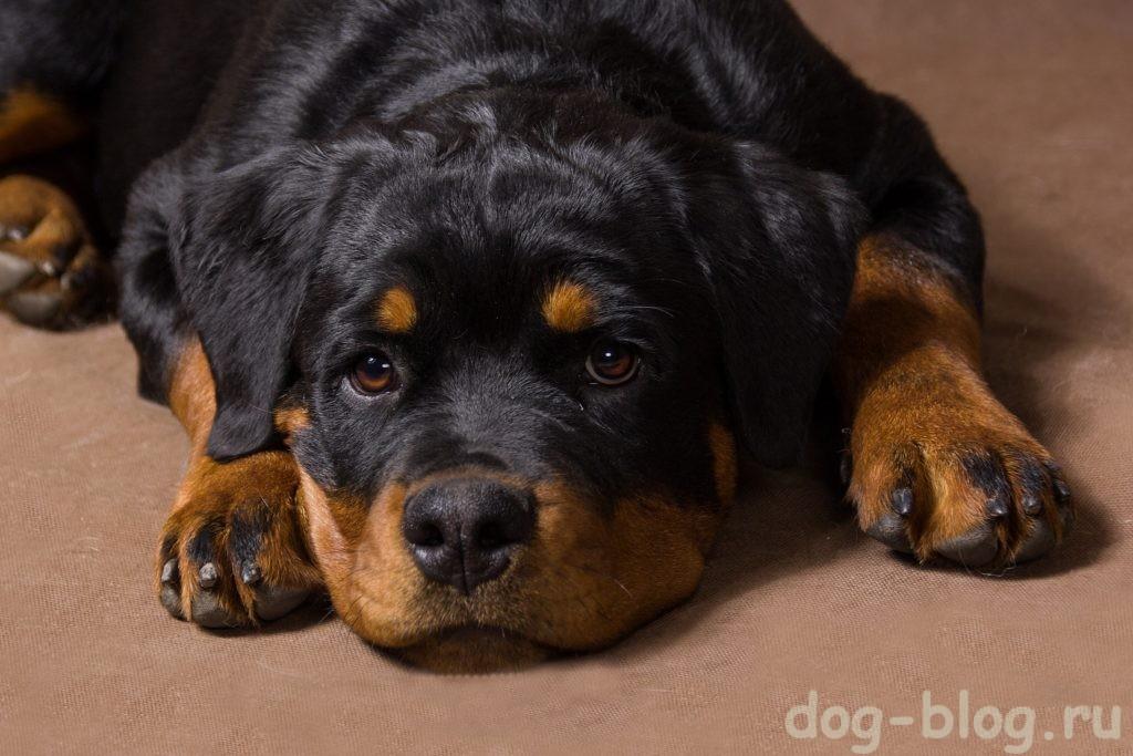 мужская порода собаки ротвейлер