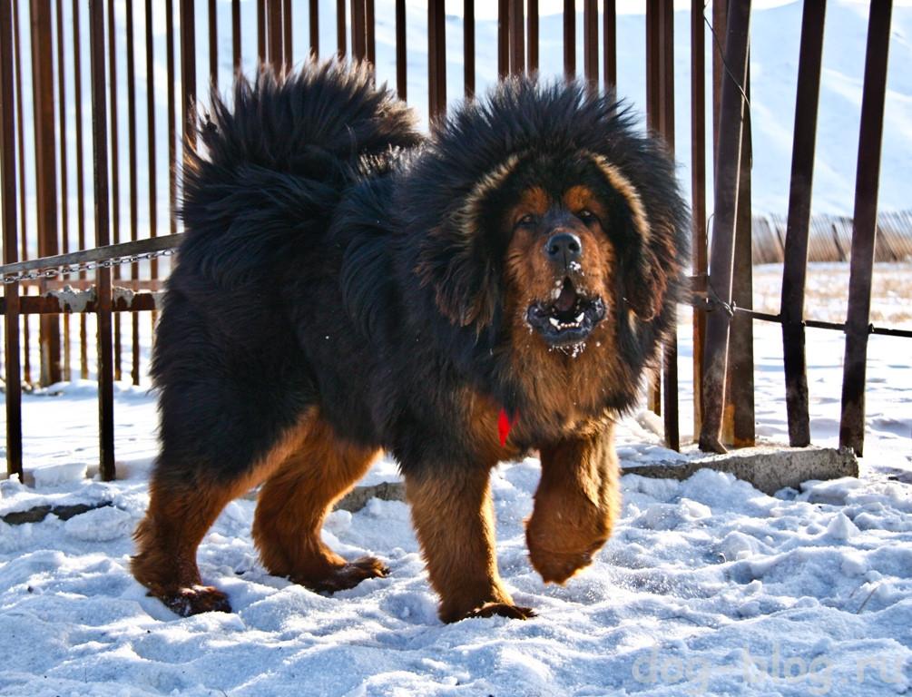 мужские породы собак тибетский мастиф