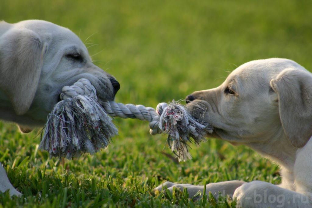 собаки и перетягивание