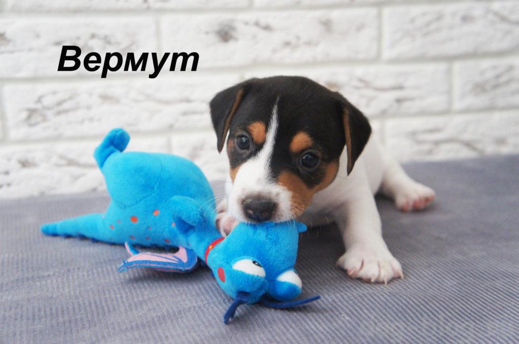 джек рассел терьер щенок на продажу