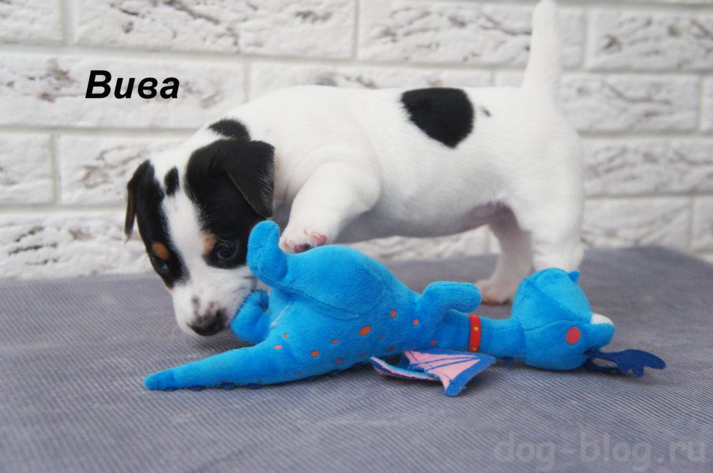 продаётся щенок джек рассел терьер