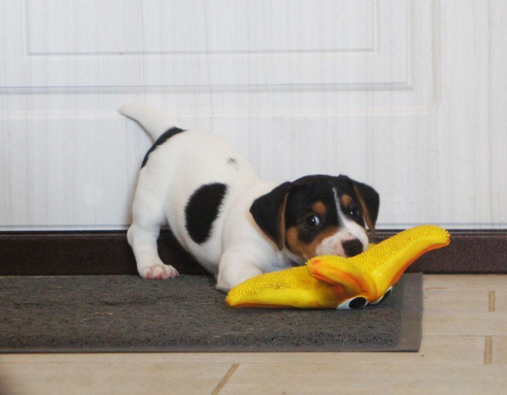 щенок в новом доме, первый день