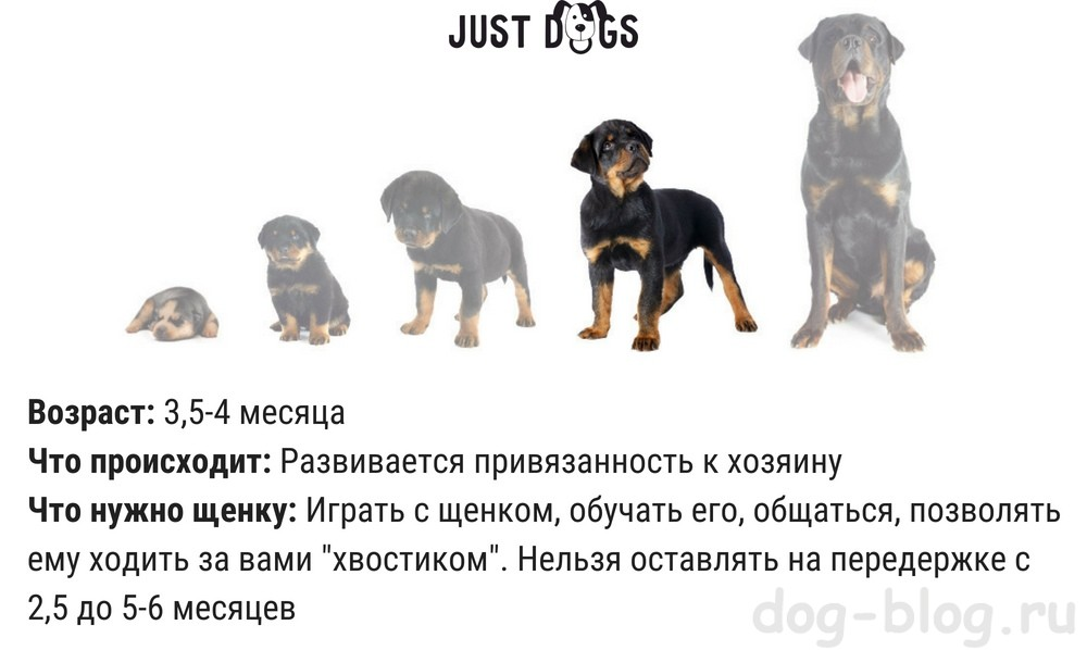 как развивается щенок по месяцам
