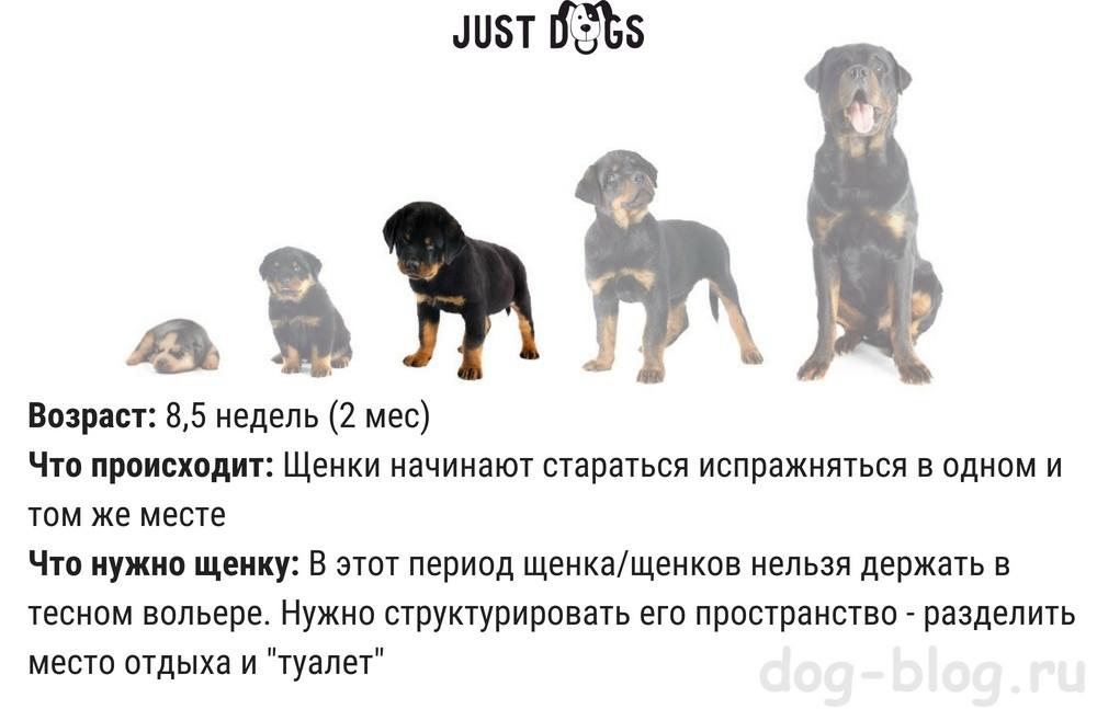 развитие щенка по месяцам