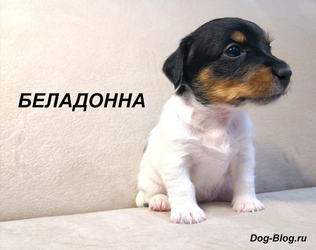 купить щенка джек рассел терьера