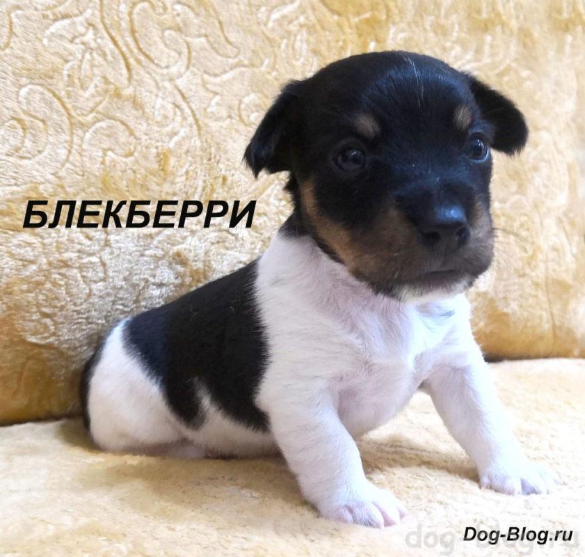 продажа щенков джек рассел терьера
