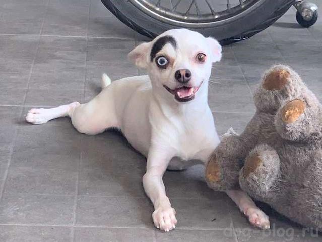 разноглазый пёс с одной бровью
