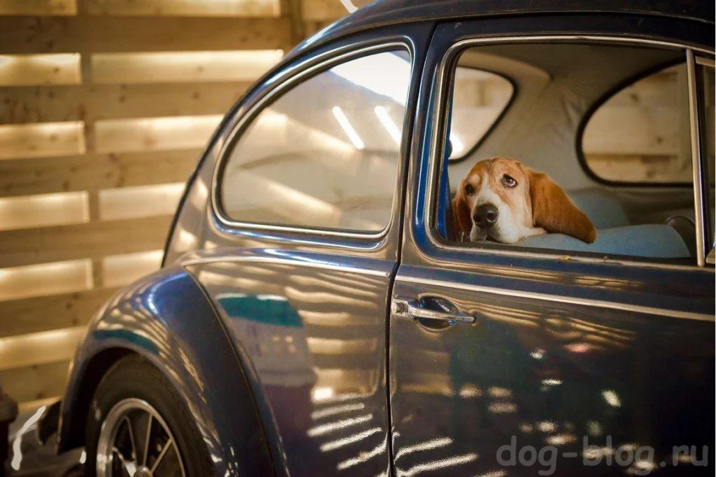 фото собак на винтажных авто