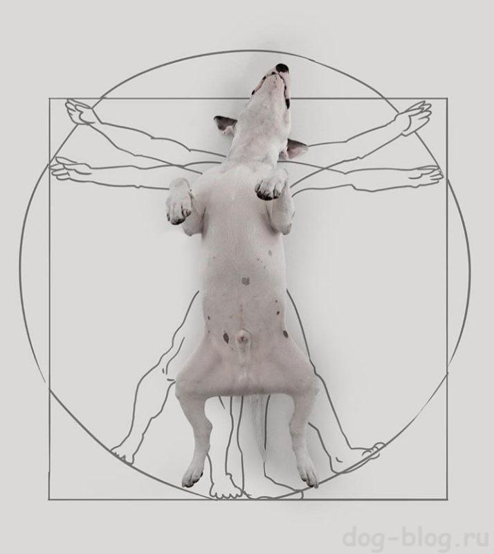бультерьер фото собаки