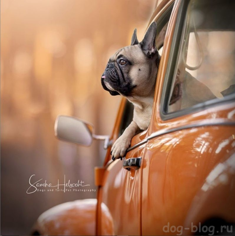 собаки и винтажные авто