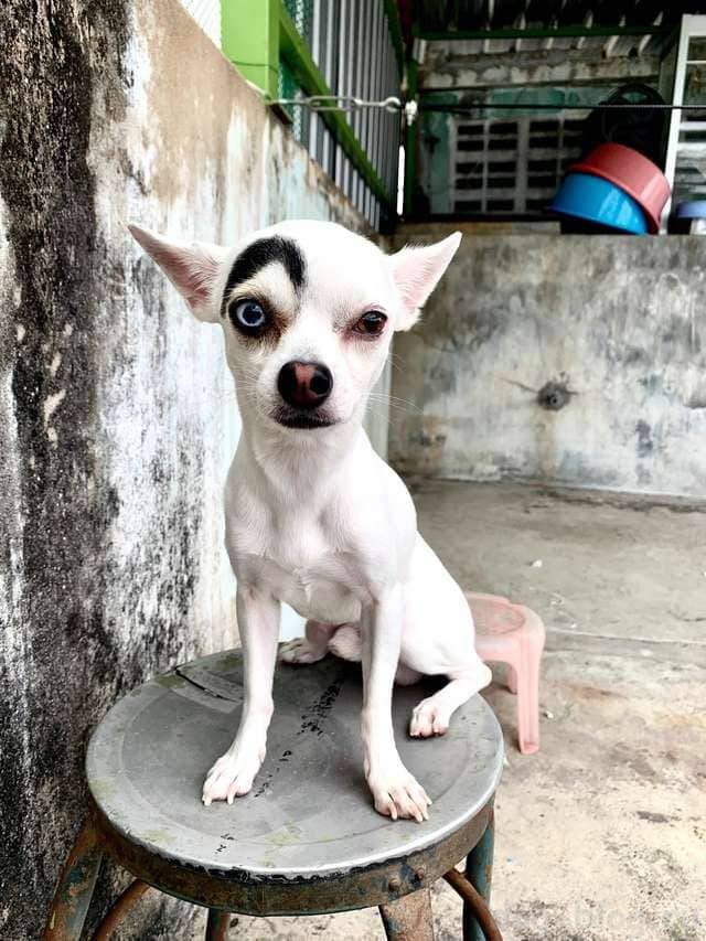 собака 2 в 1 из Таиланда