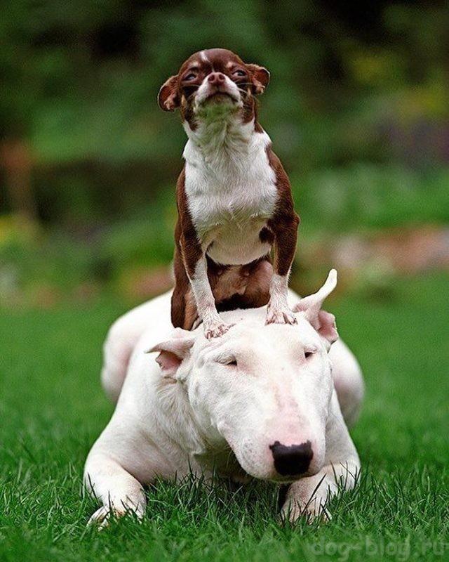 собака чихуахуа фото