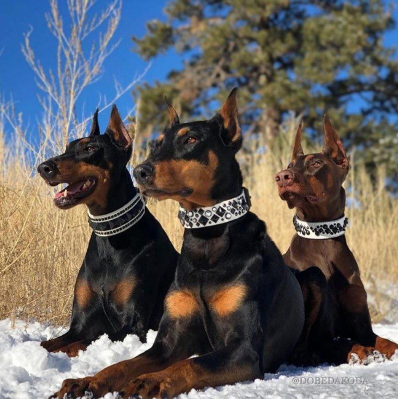 доберман фото собаки