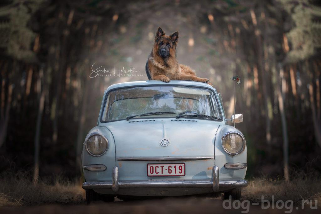 фото собак в машине