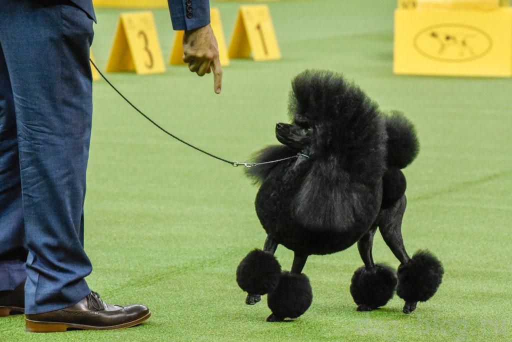 как проигрывать на выставках собак