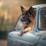 Фотопроект  Сандры Хельсохт «Собаки и их поездки»
