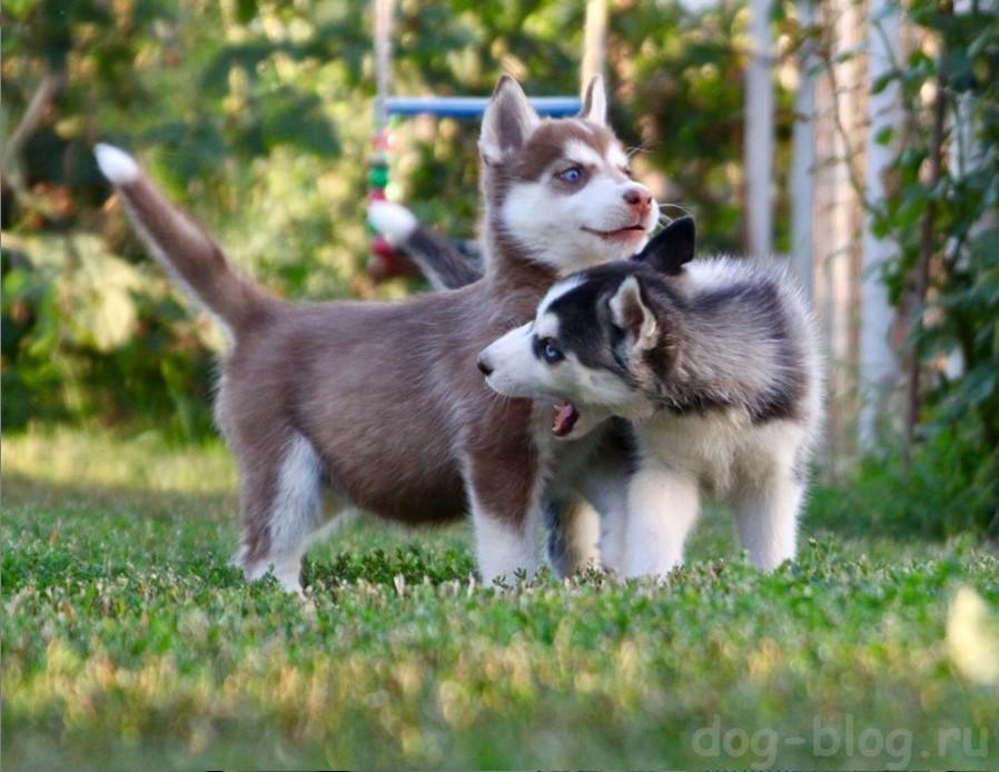 дешёвые щенки