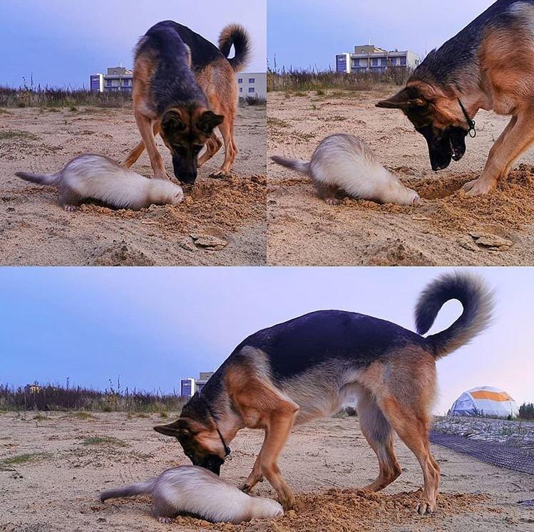 хорьки собака