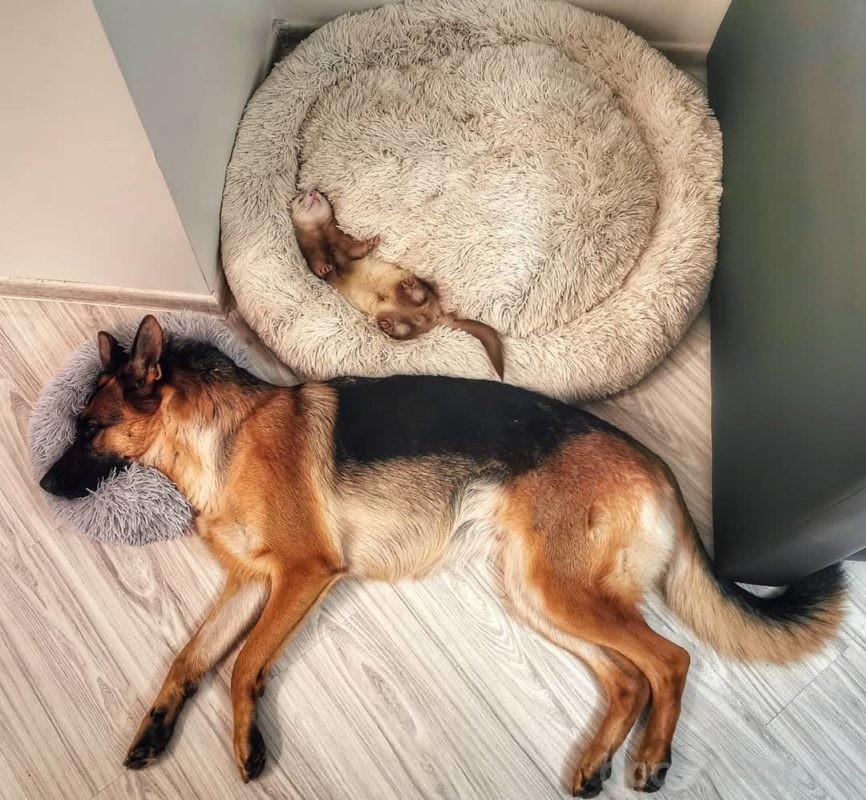 как хорёк уживается с собакой