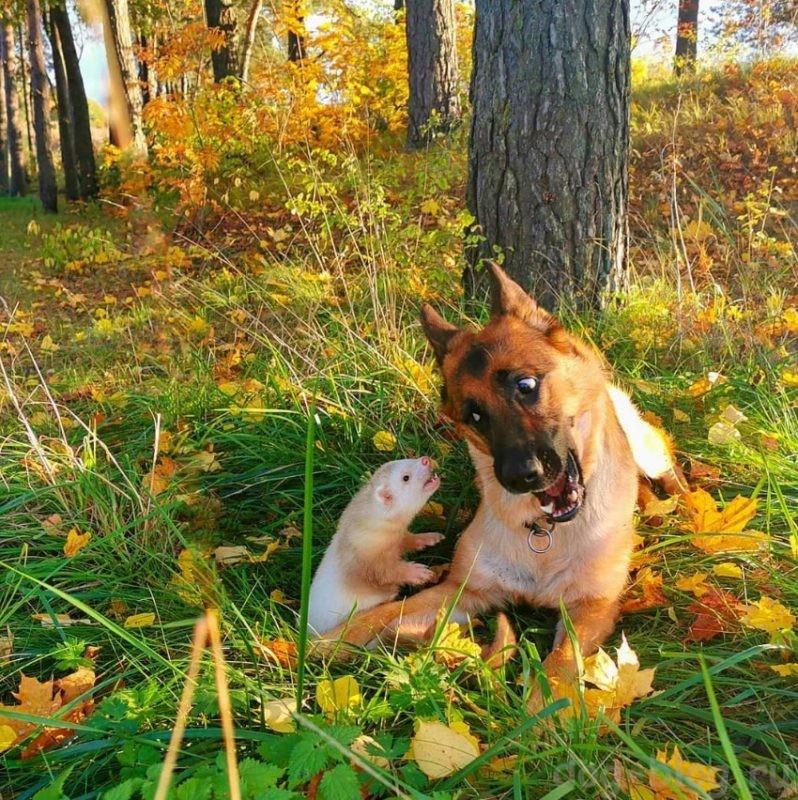 собака хорёк фото