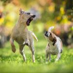 Конфликт между собаками, живущими в одном доме