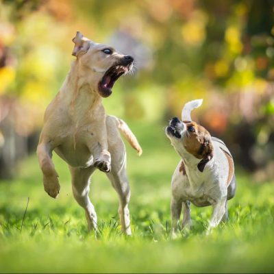 собак конфликт