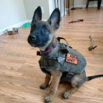 Собаки выявляют коронавирус